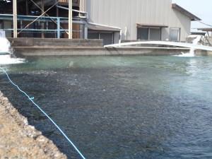 第1養魚場 1号池